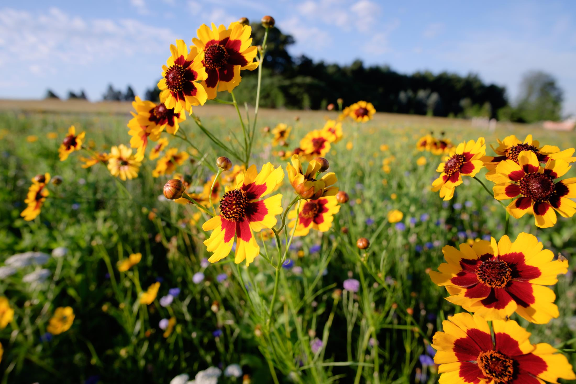 yellow and red coreopsis flowers