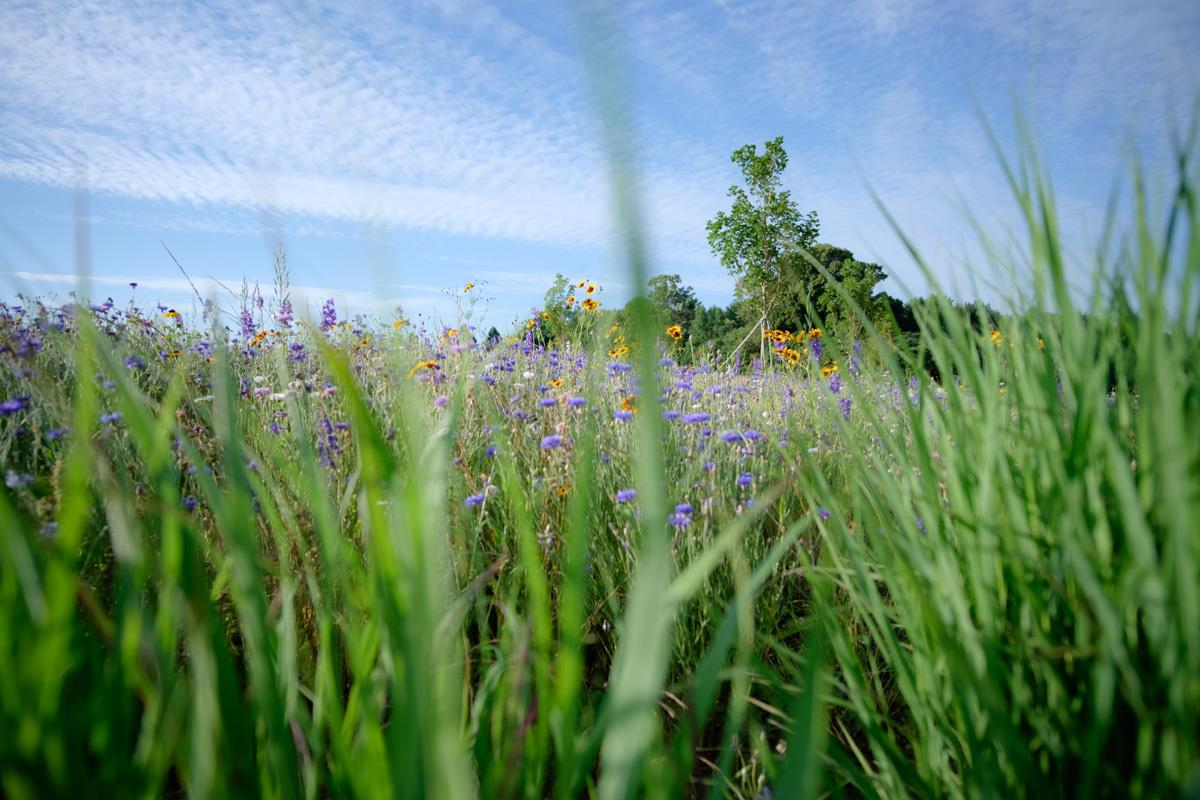 Natural Burial section with tall grass and blue flowers